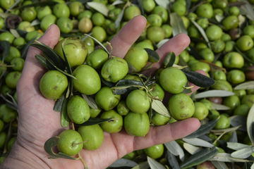Come partecipare alla raccolta delle olive a Menfi?