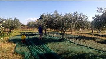 Quali sono le cultivar principali con cui si ottiene l'Olio a Menfi?