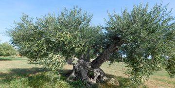 Olio extravergine in Sicilia: gli uliveti di Casale Abate